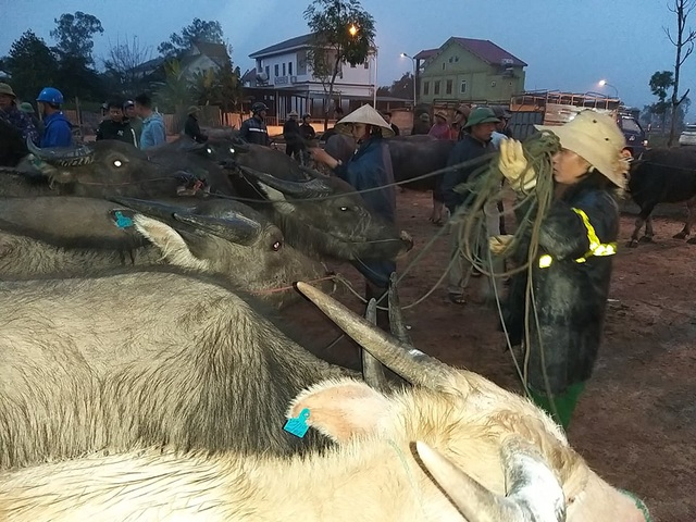 Nhộn nhịp phiên chợ trâu, bò lớn nhất miền Bắc - 8