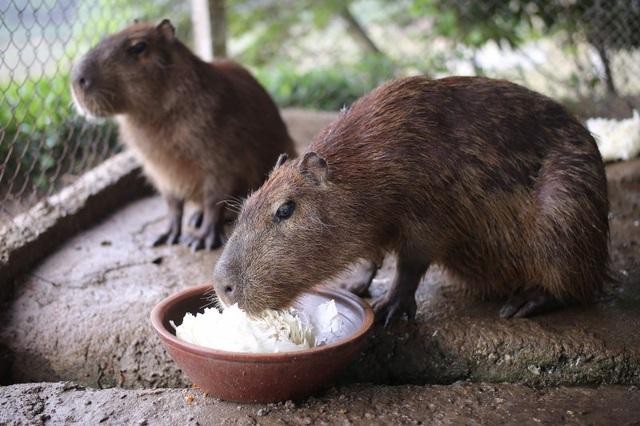 Hà Nội xuất hiện chuột khổng lồ nặng hơn 50 kg nuôi như nuôi lợn - 3