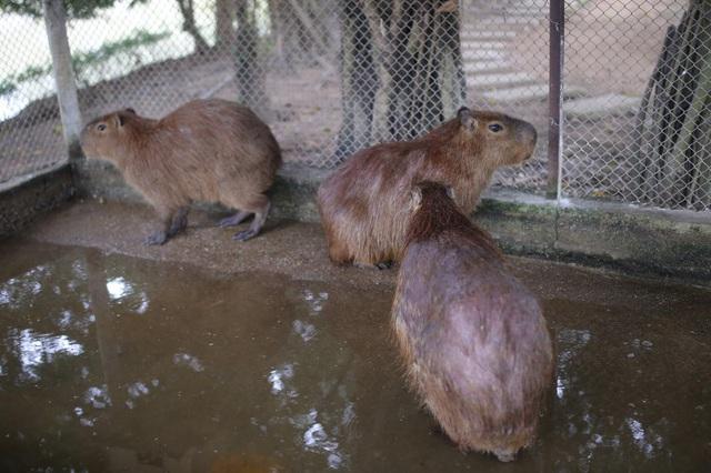 Hà Nội xuất hiện chuột khổng lồ nặng hơn 50 kg nuôi như nuôi lợn - 4