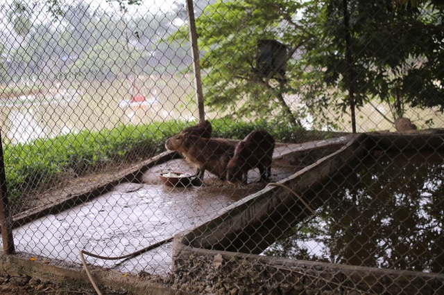 Hà Nội xuất hiện chuột khổng lồ nặng hơn 50 kg nuôi như nuôi lợn - 5