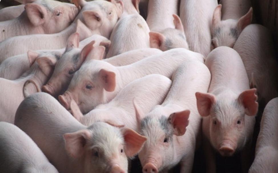Hàng nghìn con lợn nhập khẩu bay vào Trung Quốc trong năm nay