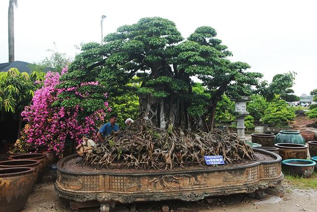 Choáng ngợp cây sanh lá móng cổ thụ giá chục tỷ ở Hà Nội - 11