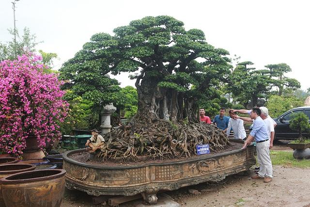 Choáng ngợp cây sanh lá móng cổ thụ giá chục tỷ ở Hà Nội - 3