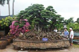 Choáng ngợp cây sanh lá móng cổ thụ giá chục tỷ ở Hà Nội