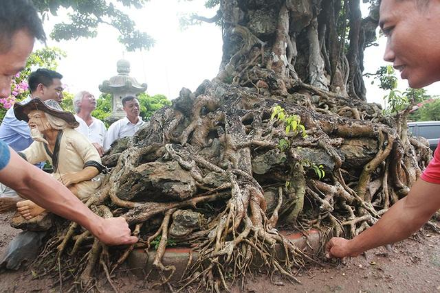 Choáng ngợp cây sanh lá móng cổ thụ giá chục tỷ ở Hà Nội - 7