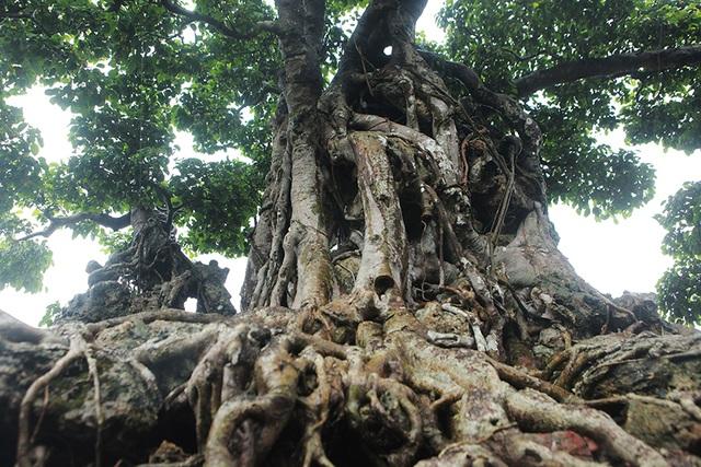 Choáng ngợp cây sanh lá móng cổ thụ giá chục tỷ ở Hà Nội - 8