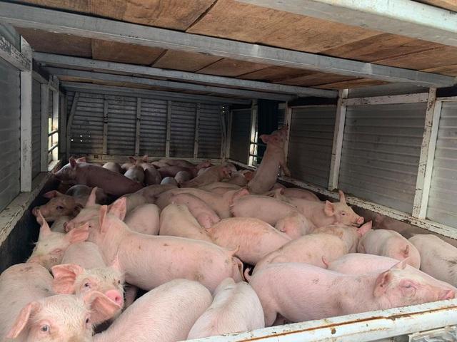 Bộ Nông nghiệp đồng ý nhập khẩu lợn sống do giá lợn tăng quá cao - 1