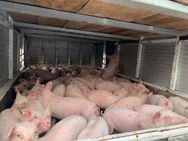 Bộ Nông nghiệp đồng ý nhập khẩu lợn sống do giá lợn tăng quá cao