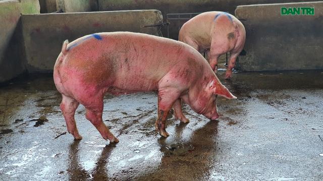 Lợn sống từ Lào, Campuchia đổ về nhiều, lợn hơi trong nước liên tục mất giá - 1
