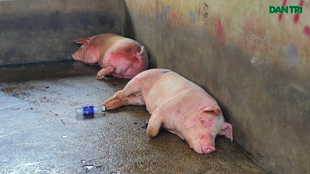 Lợn sống từ Lào, Campuchia đổ về nhiều, lợn hơi trong nước liên tục mất giá - 2
