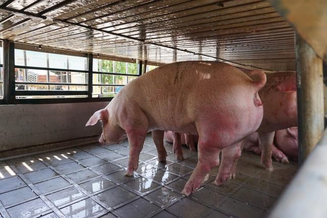 Chợ đầu mối lợn hơi ế ẩm, tiểu thương ngồi đuổi ruồi vì giá quá cao - 12