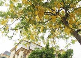 Rực rỡ sắc muồng Hoàng Yến, ngát hương thơm trong nắng hè Hà Nội