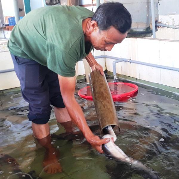 """Lão ngư đất võ Bình Định đổi đời nhờ nuôi loài cá """"tiến vua"""""""