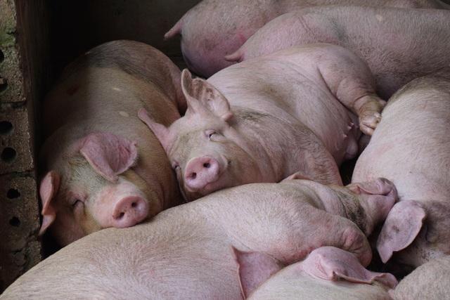 """Giá lợn hơi cao ngất ngưởng vì dựa theo """"ông lớn"""" ngành chăn nuôi? - 2"""
