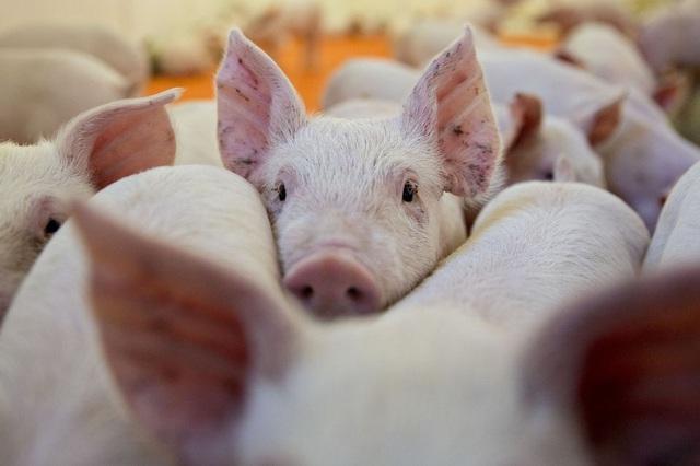 Cơ hội nào cho đại gia chăn nuôi Việt bớt