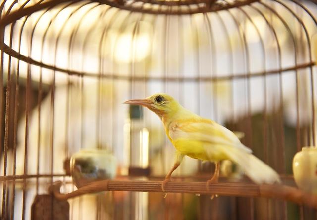 Chú chim 10 màu độc nhất Việt Nam, trả nửa tỷ đồng một con cũng không bán - 1