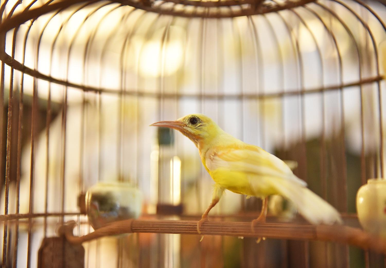 Chú chim 10 màu độc nhất Việt Nam, trả nửa tỷ đồng một con cũng không bán