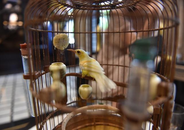 Chú chim 10 màu độc nhất Việt Nam, trả nửa tỷ đồng một con cũng không bán - 4