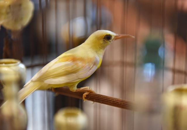 Chú chim 10 màu độc nhất Việt Nam, trả nửa tỷ đồng một con cũng không bán - 5