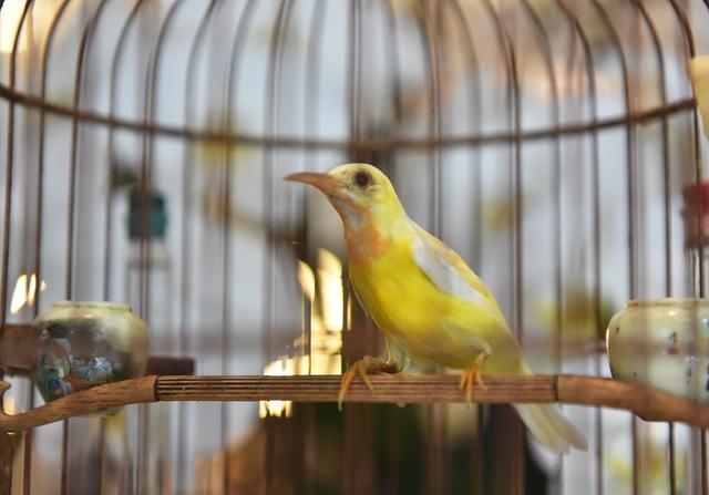 Chú chim 10 màu độc nhất Việt Nam, trả nửa tỷ đồng một con cũng không bán - 9