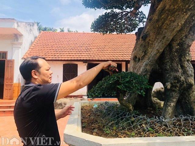 Ông thợ mộc mua cây duối cổ 400 tuổi giá 2 triệu đồng, giờ khách trả 3 tỷ đồng không bán - 3