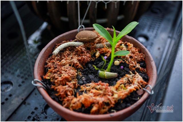 Tận mắt 4 mầm lan như cọng rau rao tiền tỷ của 2 đại gia Hà Thành - 3