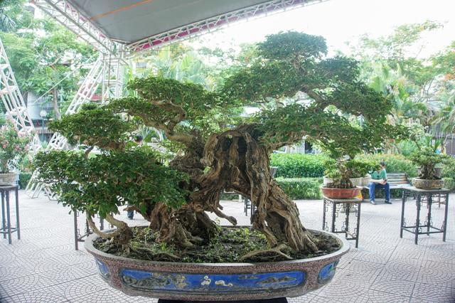 Mãn nhãn với cây găng tu hú, gỗ lũa tự thân hàng trăm năm tuổi - 1