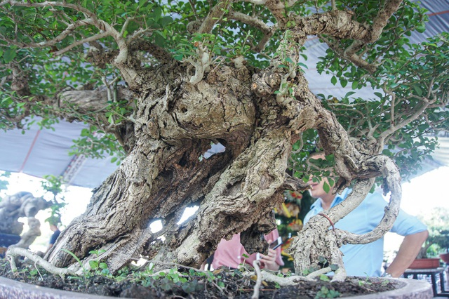 Mãn nhãn với cây găng tu hú, gỗ lũa tự thân hàng trăm năm tuổi - 2