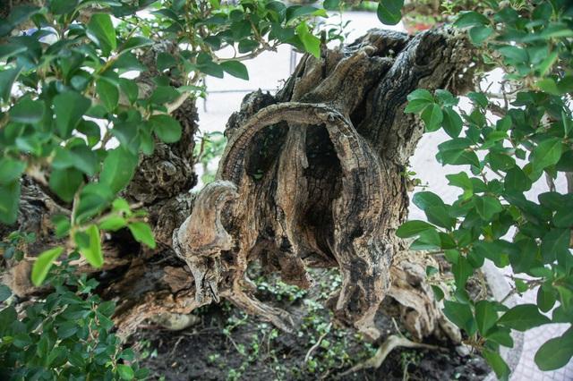 Mãn nhãn với cây găng tu hú, gỗ lũa tự thân hàng trăm năm tuổi - 3