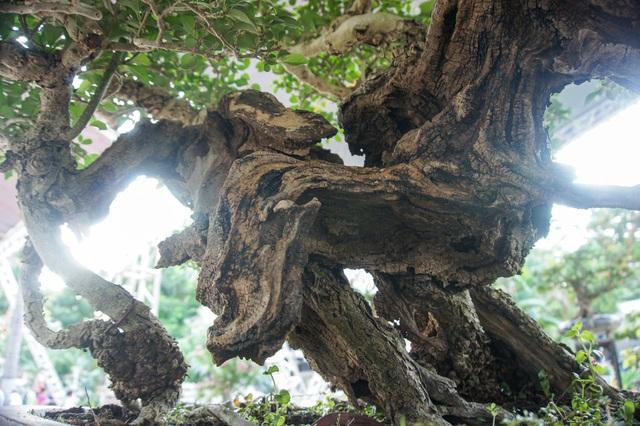 Mãn nhãn với cây găng tu hú, gỗ lũa tự thân hàng trăm năm tuổi - 5
