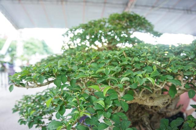 Mãn nhãn với cây găng tu hú, gỗ lũa tự thân hàng trăm năm tuổi - 6