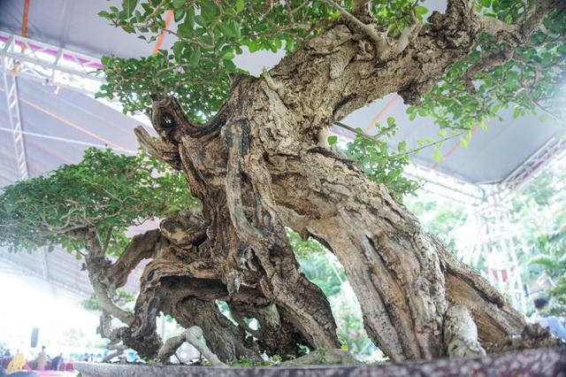 Mãn nhãn với cây găng tu hú, gỗ lũa tự thân hàng trăm năm tuổi - 7