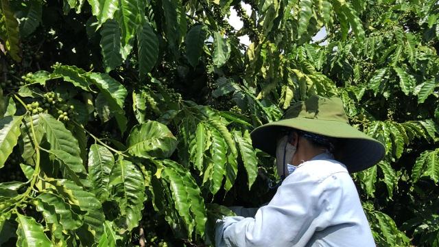 Vợ chồng nông dân mày mò làm cà phê sạch, kiếm hơn 1 tỷ đồng/năm - 4