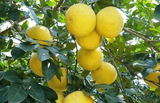 Niềm tự hào trái cây Hà Tĩnh- bưởi Phúc Trạch rớt giá thê thảm