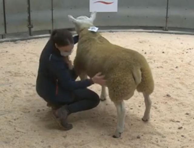 Một con cừu được bán với giá cao kỷ lục: 11 tỷ đồng - 1