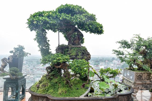 Lộ diện cây si Thạch Sanh có giá hàng tỷ đồng khiến đại gia mê mẩn - 1