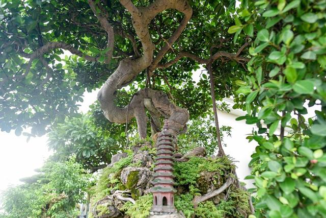 Lộ diện cây si Thạch Sanh có giá hàng tỷ đồng khiến đại gia mê mẩn - 2