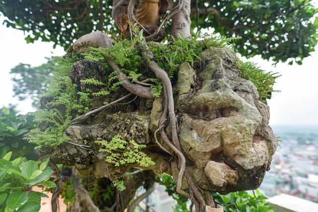 Lộ diện cây si Thạch Sanh có giá hàng tỷ đồng khiến đại gia mê mẩn - 3