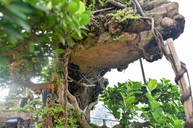 Lộ diện cây si Thạch Sanh có giá hàng tỷ đồng khiến đại gia mê mẩn - 5