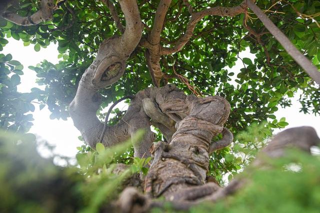 Lộ diện cây si Thạch Sanh có giá hàng tỷ đồng khiến đại gia mê mẩn - 7
