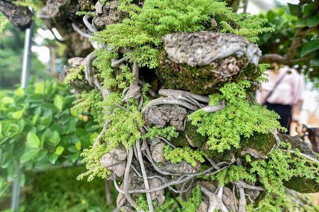 Lộ diện cây si Thạch Sanh có giá hàng tỷ đồng khiến đại gia mê mẩn - 8