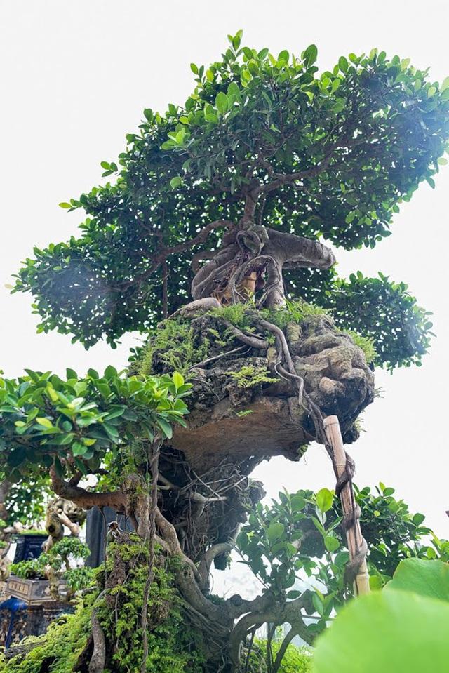 Lộ diện cây si Thạch Sanh có giá hàng tỷ đồng khiến đại gia mê mẩn - 9