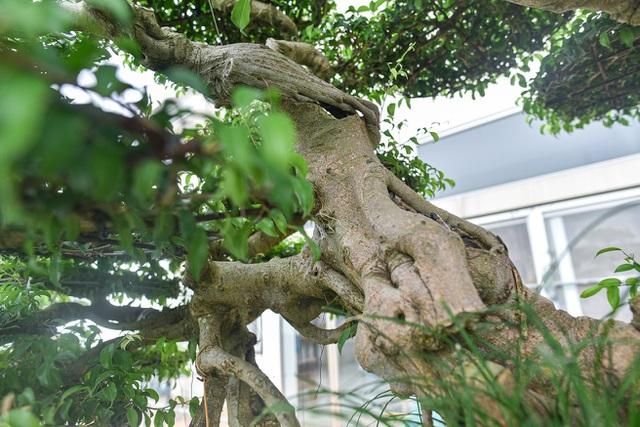 Cây sanh cổ trăm tuổi đắt giá ngang căn chung cư cao cấp ở Hà Nội - 3