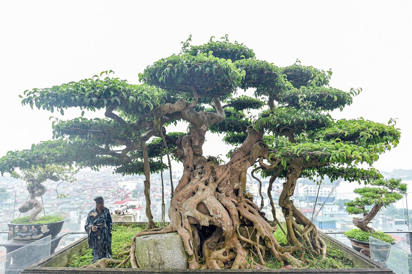 Cây sanh cổ trăm tuổi đắt giá ngang căn chung cư cao cấp ở Hà Nội