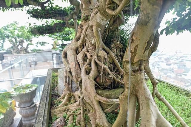 Cây sanh cổ trăm tuổi đắt giá ngang căn chung cư cao cấp ở Hà Nội - 6