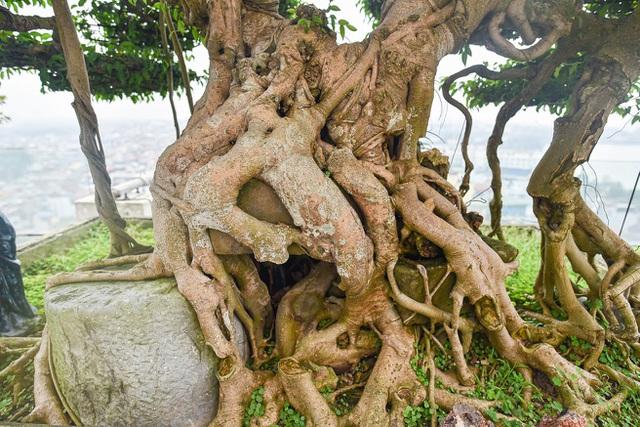 Cây sanh cổ trăm tuổi đắt giá ngang căn chung cư cao cấp ở Hà Nội - 9