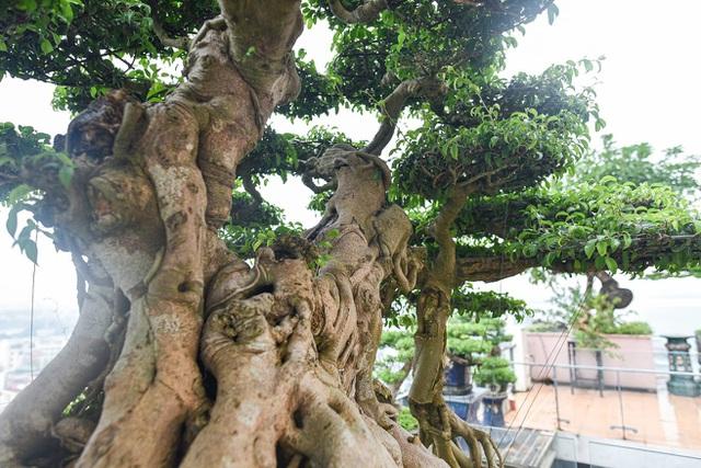 Cây sanh cổ trăm tuổi đắt giá ngang căn chung cư cao cấp ở Hà Nội - 10