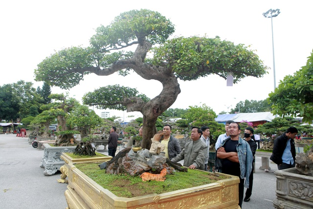 Sửng sốt với cây khế cổ dáng Long đẹp nhất Việt Nam có giá 5 tỷ đồng - 2