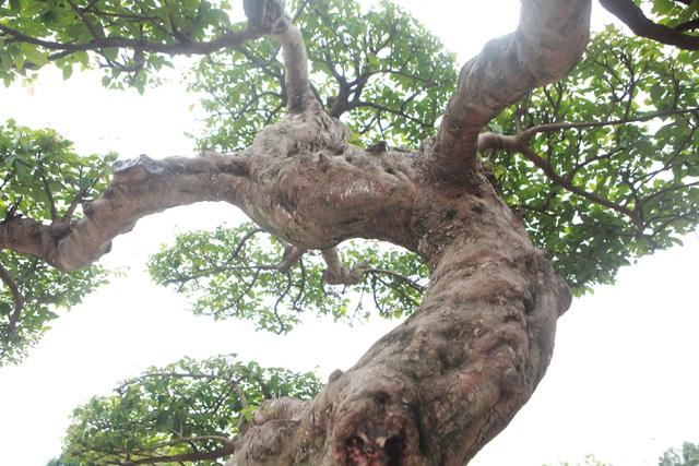 Sửng sốt với cây khế cổ dáng Long đẹp nhất Việt Nam có giá 5 tỷ đồng - 11