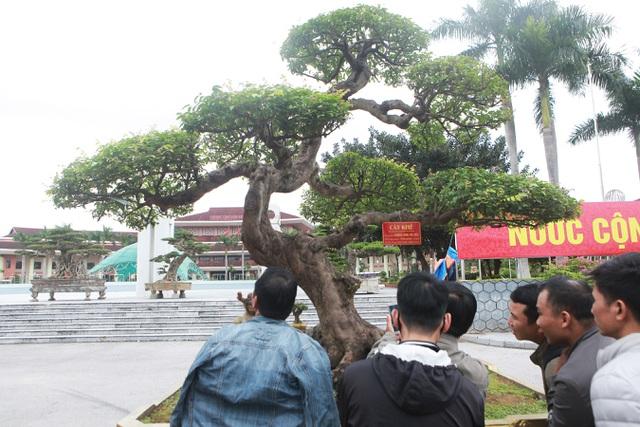 Sửng sốt với cây khế cổ dáng Long đẹp nhất Việt Nam có giá 5 tỷ đồng - 3